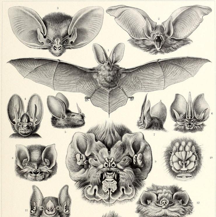 ernst haeckel bats print vampire bats poster ernst haeckel