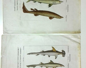 Antique print fishes 1830-1851