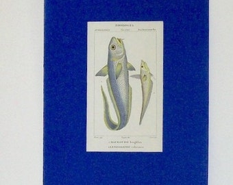 Ancient print,  fishes 1830-1851 zoology