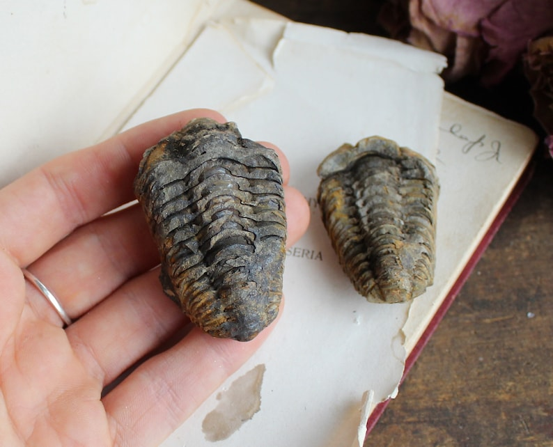 Mini Trilobite Fossil from Morocco  Healing Crystal  image 0