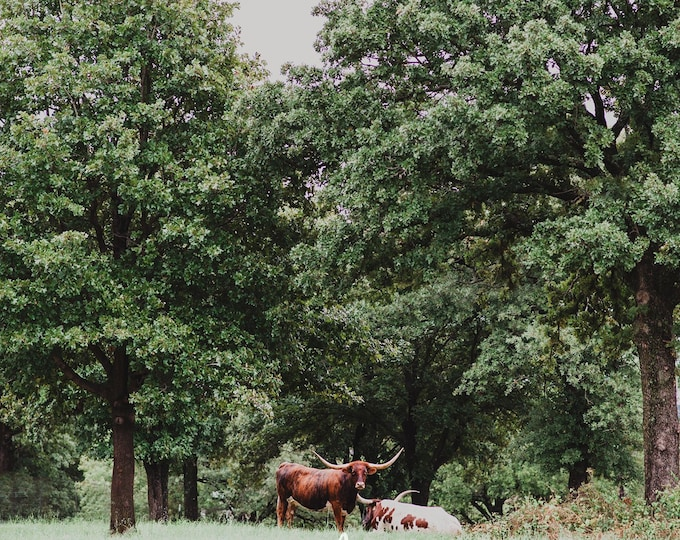 Fine Art Print- Farmhouse Longhorns, Animal Photo, Farm Animals, Rustic Decor, Texas Fine Art
