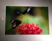 "Butterflies in the Forest - Mounted Wildlife Photo Print (16"" x 12"")"