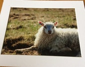 "Icelandic Sheep - Wildlife Photo Print (8"" x 6"")"