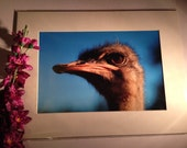 "Face Full of Ostrich - Mounted Wildlife Photo Print (16"" x 12"")"