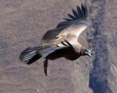 Soaring Condor - Wildlife...