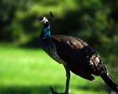 Distinguished Peacock  - ...