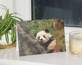 Giant Panda Wildlife Phot...