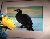 "Cormorant in the Act - Mounted Wildlife Photo Print (16"" x 12"")"