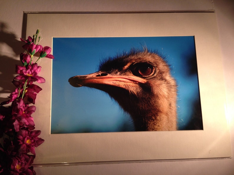 Face Full of Ostrich  Wildlife Photo Print 15 x image 0