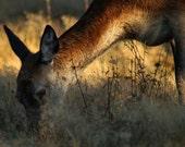 "It's Still Early, Deer - Wildlife Photo Print (8"" x 6"")"
