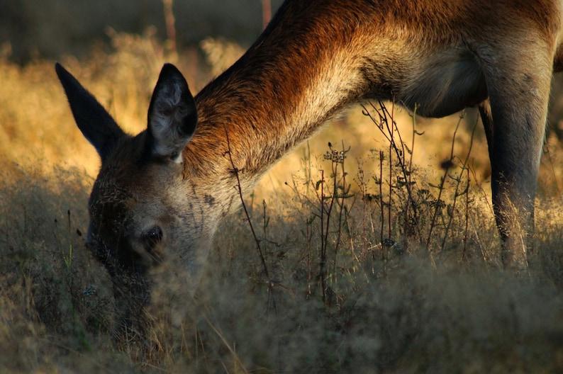 It's Still Early Deer  Wildlife Photo Print 8 x image 0