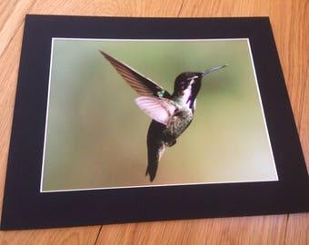 "Hummingbird in Flight - Wildlife Photo Print (8"" x 6"")"