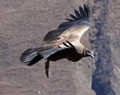 "Soaring Condor - Wildlife Photo Print (8"" x 6"")"