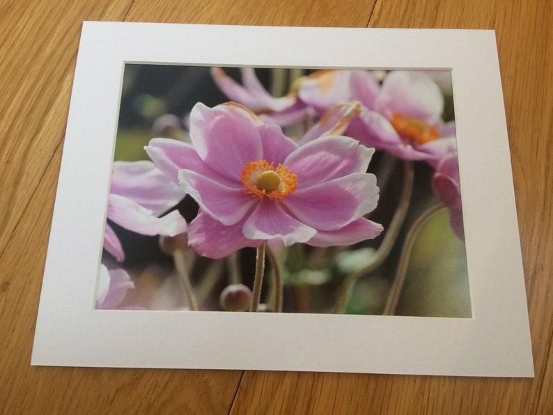 Pink Japanese Anemone Flower  Wildlife Photo Print 8 x image 0