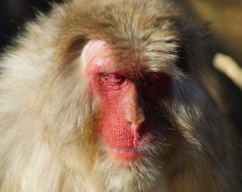 """A Macaque Moment - Mounted Wildlife Photo Print (16"""" x 12"""")"""