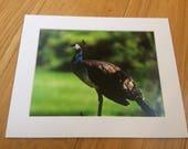 "Distinguished Peacock  - Wildlife Photo Print (8"" x 6"")"