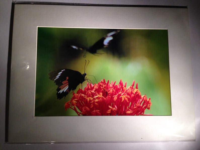 """Butterflies in the Forest  Wildlife Photo Print 15 x White Mount 16""""x12"""""""