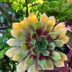 Golden Nugget Sempervivum/succulent garden/succulent arrangement/succulent wedding/live plants