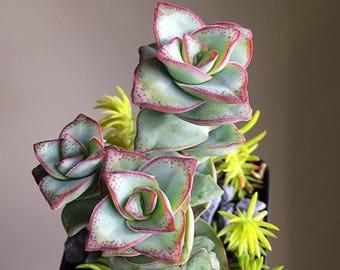 String of Buttons/Succulent plant/succulents/indoor plant/succulent arrangement/live plants/cactus/succulent wedding