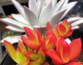 Campfire Crassula/crassula capitella campfire/Succulent plant/succulents/indoor plant/succulent arrangement/plants/cactus/succulent wedding