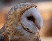 Barn Owl, owl, photo, home decor, wall art, nature photography, bird photography, wildlife photography, free shipping, metal, best seller