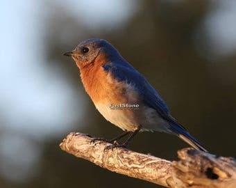 Eastern Bluebird, songbird, bird, nature, photo, print, photography, wall art, home decor, wildlife, metal