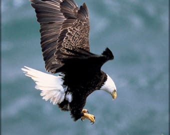 Poster, Many Sizes Available; Bald Eagle