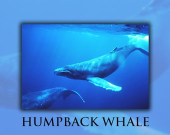 Poster, Many Sizes Available; Humpback Whale Underwater Shot