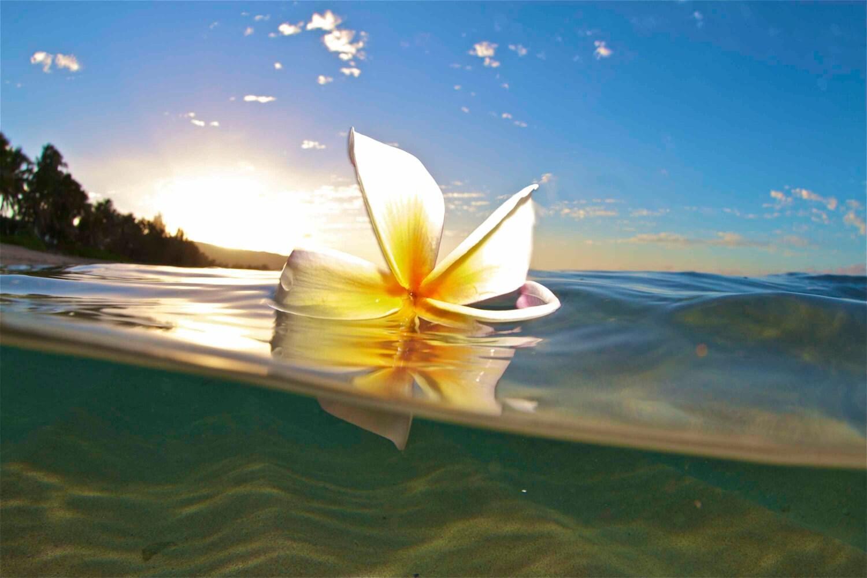 Hawaiian Water Plumeria Danceunderwater Flower Etsy