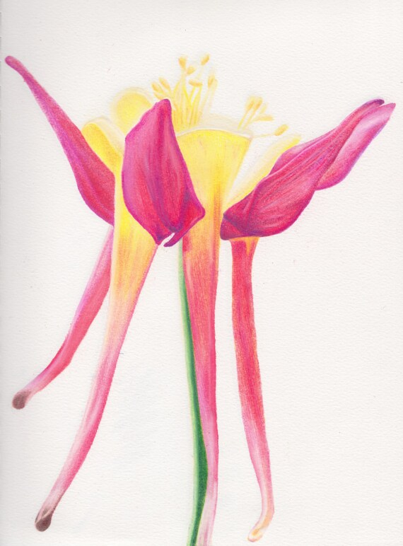 Flower Colored Pencil Drawing Using Prismacolors Butchart Etsy