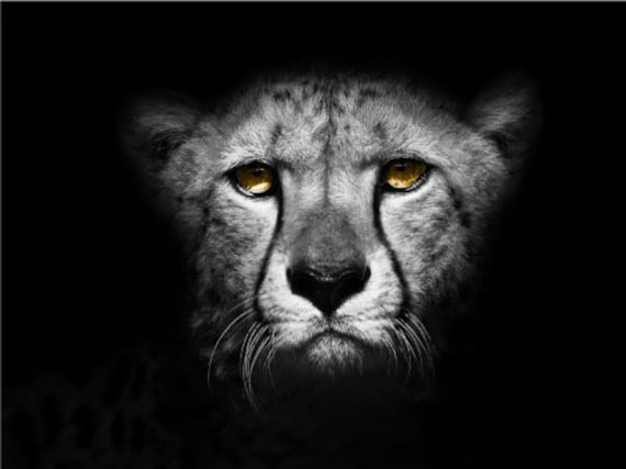 Cheetah Growling Face Close Up Wildlife Vibrant Poster Print Paper OR Wall Vinyl