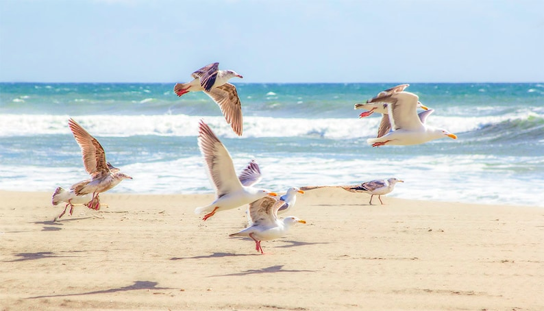 Seagulls in flight, California Beach Art Print, Pacific Ocean art,  California wildlife, white sandy beaches, Panoramic Nature Photography