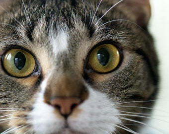 Clark and his Eyes. Cat, Tabby, big eyes, green eyes, white muzzle, feline, pet, family cat, 3Butterflies Photography