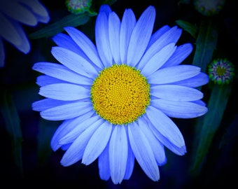 Blue Daisy,photos, photography, artwork, daisy, garden, blue flower, macro, 3Butterflies