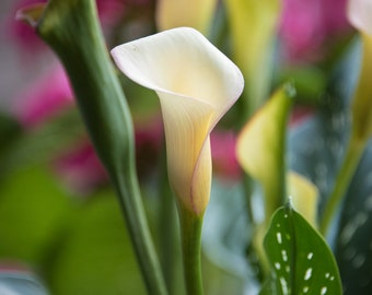 Calla Lily, 3Butterflies Photography, flower, potted plant, white, green, pink, garden