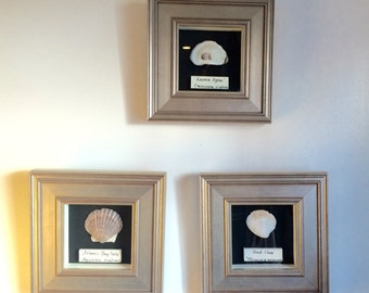 3 Shell Shadow Boxes with Scientific and Common Name Plate Framed Cape Cod Shells Oyster Clam and Scallop Educational Art Marine Biology Art