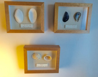 3 Shell Shadow Boxes with Scientific and Common Name Plate Framed Cape Cod Shells Blue Mussel Cockle Soft Shelled Clam Natural Wood Frames