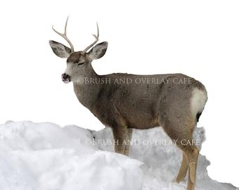 7 Real Deer  High Res Transparent PNG Photoshop Overlays...Buck, Doe, Fawn, Mule Deer, Snow