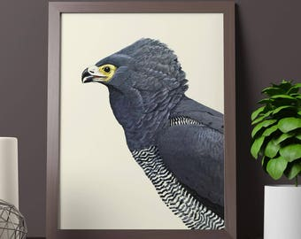 African harrier hawk - Beautiful vintage poster with drawing of the very beautiful Gymnogene bird