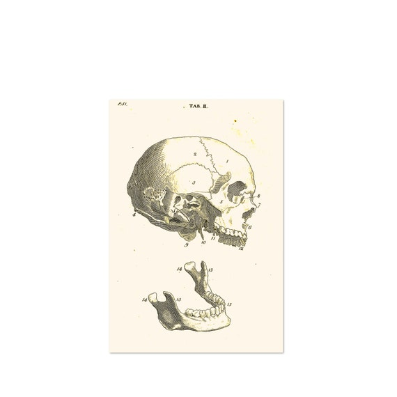 Items Similar To Educational Poster With Human Skull And Jawbone