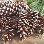 White Pine Cones (12 ct)