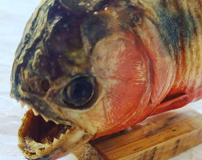 Vintage Real Piranha Taxidermy Fish ~ Souvenir of Venezuela ~ Spooky Sharp Teeth