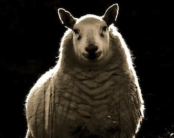 Sheep photography, nature photography, sheep print, animal photography, sepia, fine art photography, framed print, wildlife photo, matted