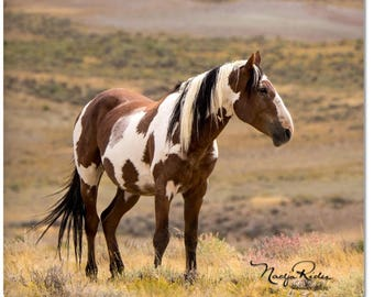 """Picasso Magnet 2""""x 2"""" - Sand Wash Basin Wild Mustang Stallion Picasso, wild horse, pinto horse magnet, paint"""