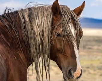 Wild Mustang Stallion Cimarron - 5x7 Mini Canvas Print with Easel - Wild Stallion of Sand Wash Basin, wild horses of northwest Colorado