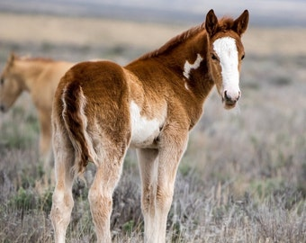 Wild Mustang Colt Foal Nemo - 6x6 Mini Canvas Print with Easel - Wild Colt of Sand Wash Basin, wild horses of northwest Colorado