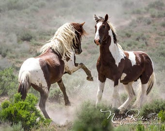 Wild Stallions of Sand Wash Basin Sparring, Wild Horse Photography, Tango and War Horse, wild horses, pinto wild mustang, wild stallion