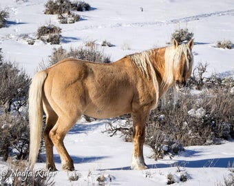 Corona in the Snow of Sand Wash Basin, Fine Art Wild Horse Photography Print, palomino mustang, winter, golden boy, palomino wild horse