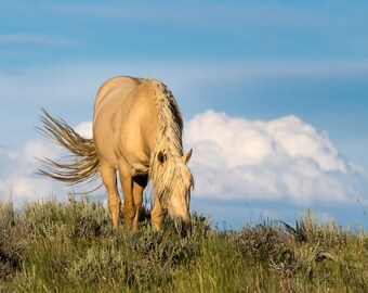 Wild Stallion of Sand Wash Basin, Bobby - Wild Horse Photography Print, wild mustang, palomino stallion horse, blue sky with clouds, evening