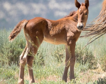 Wild Mustang Colt Foal Amigo - 6x6 Mini Canvas Print with Easel - Wild Colt of Sand Wash Basin, wild horses of northwest Colorado